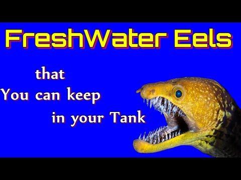 Types of freshwater Eels