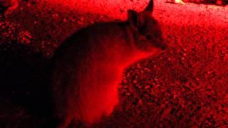 lots of marsupials eating: Bettongs, Wallabies- Western Australia