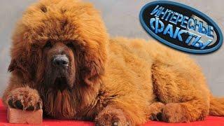 Самая Дорогая Порода Собак - Тибетский Мастиф, Интересные Факты  #топ
