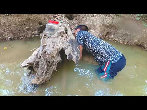 Find N Catch Up Asian Redtail Catfish By Hand In River