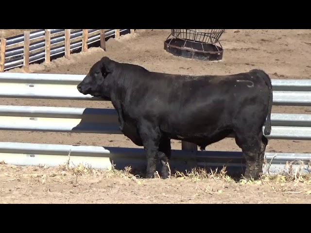 Connealy Angus Lot 33