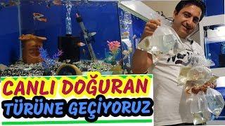 COLOR COLOR Guppy Aquarium, aquarium fish, cichlid birth,Cichlid Aquarium,cichlid aquarium,