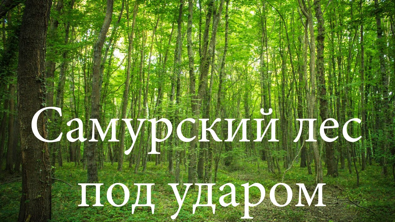 самурский лес фото