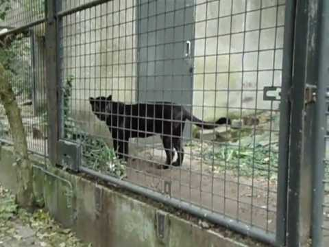 Black Jaguar in Amsterdam zoo