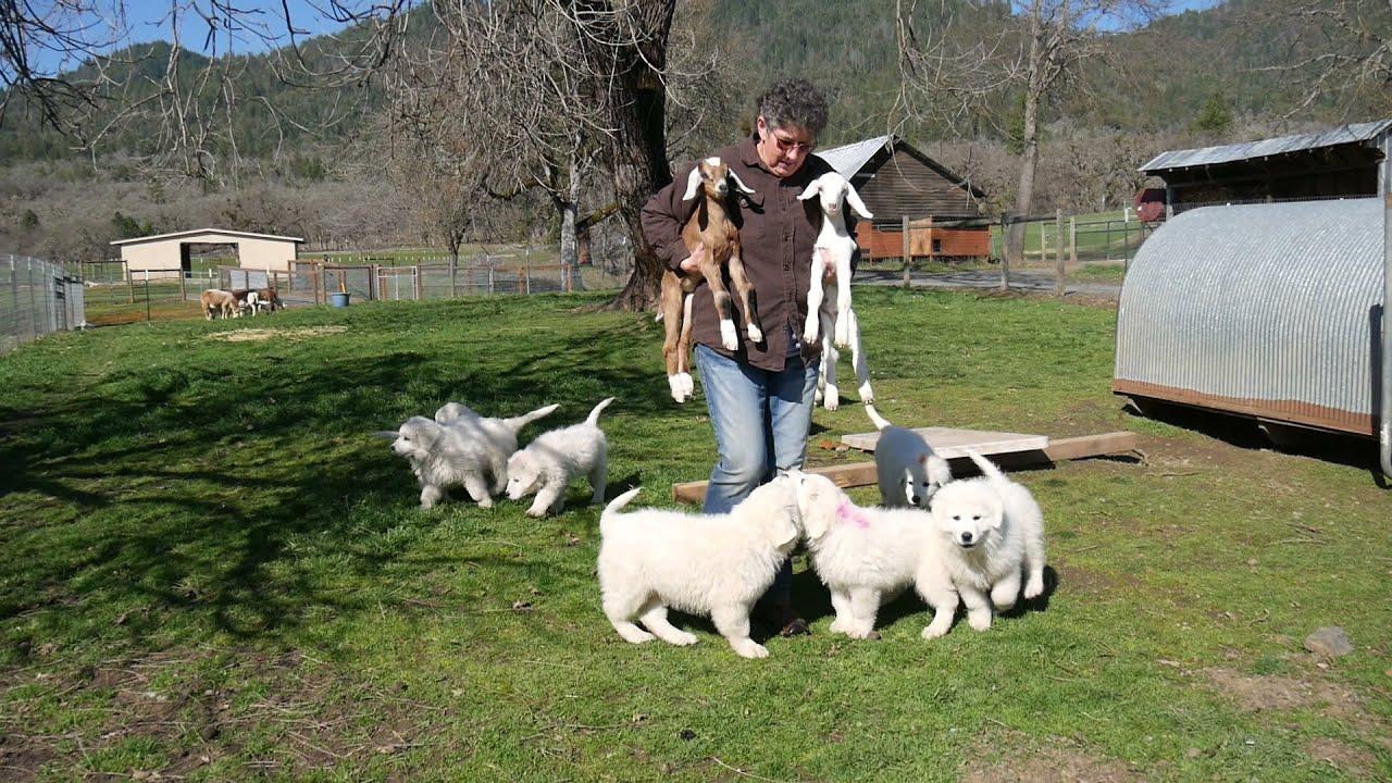 2021 Sarika x Milan Litter - 8 wks - Meet the Baby Goats - Need Plan B!