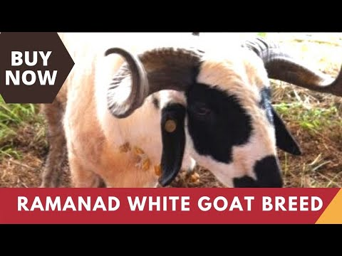 Ramanad White Goat - a goat breed from Tamilnadu | India Video