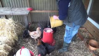 Senfeier das Fazit gegen eierfressende Hühner