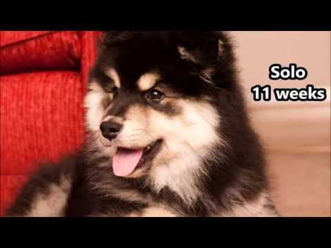 Solo - Finnish Lapphund - Training - 11 Weeks