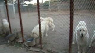 良夢(ラム)が亡くなって早4年,またまた超大型犬との暮らしを選びま...