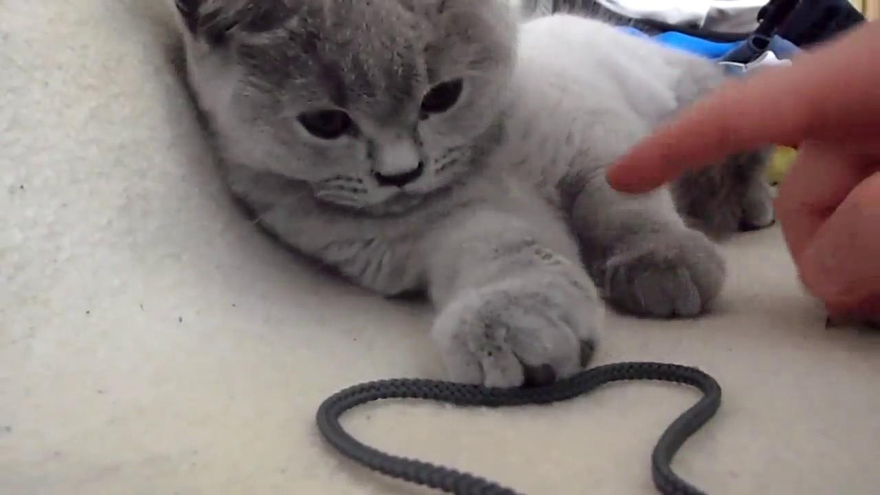 British blue cat shorthair so cute