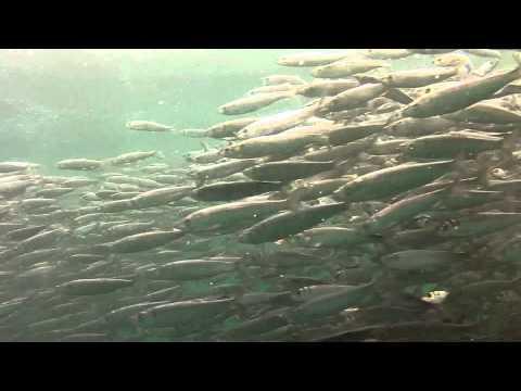 Copy of Herring Ball… Filmed in Blackfish Sound BC…