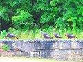 Turkeys on the ledge