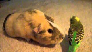 Guinea Pig Meets Budgie
