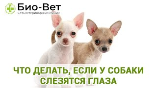 Что делать, если у собаки слезятся глаза