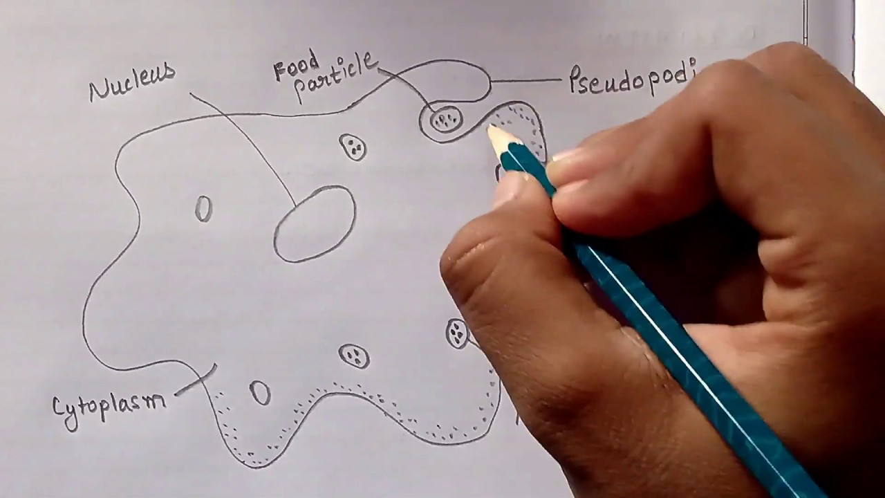 simplest way of drawing amoeba | how to draw amoeba in easy way