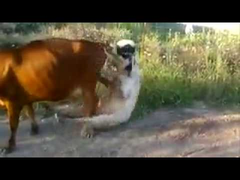 Bull and cow sex vedio