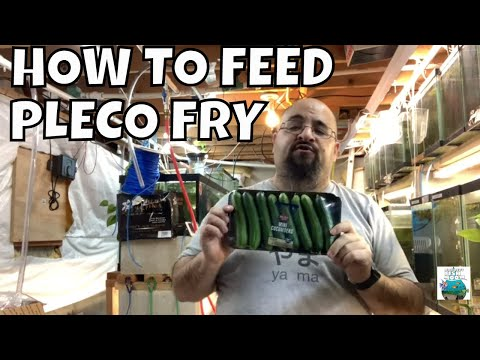 HOW TO FEED PLECO FRY AND MAKE YOUR PLECO FRY GROW FAST