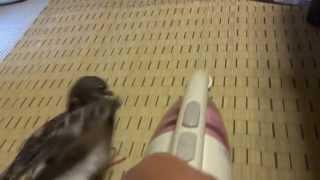 ドバトのチビスケは掃除機が大嫌い 今日も喧嘩を吹っかけて 鳩パンチ炸裂.
