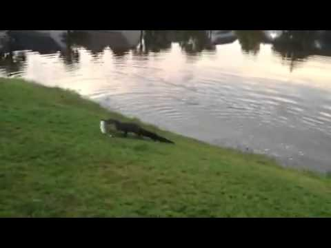 Thumbnail: Alligator steals little girl's fish