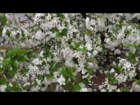Вишни цветут