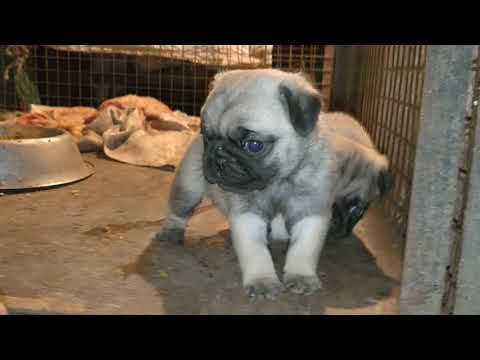 Pug puppies available for sale at arm dog kennel