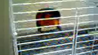 Burung Nuri Pala Hitam Luar Biasa (Nuri Bird from Irian)