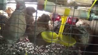 Разведение перепелок  в гараже.(Разведение перепелок в гараже для себя. на мяса и яйца., 2016-07-09T09:14:37.000Z)