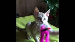 Сингапура котенок питомник AMARYLLIS Rus