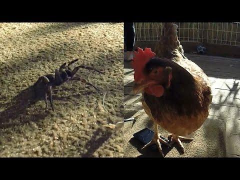 Trapdoor vs Chicken