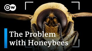 Bee extinction: Why we're saטing the wrong bees