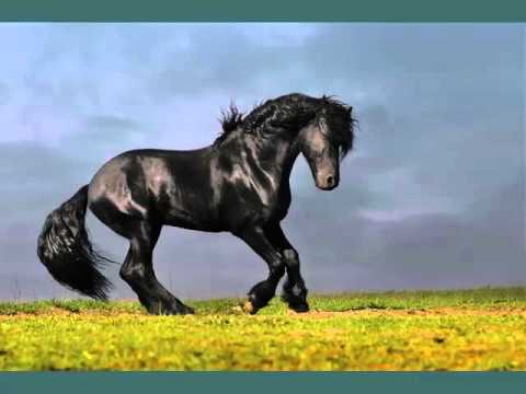 Horse Friesian | Horse Picture Collection Of Breed Friesian