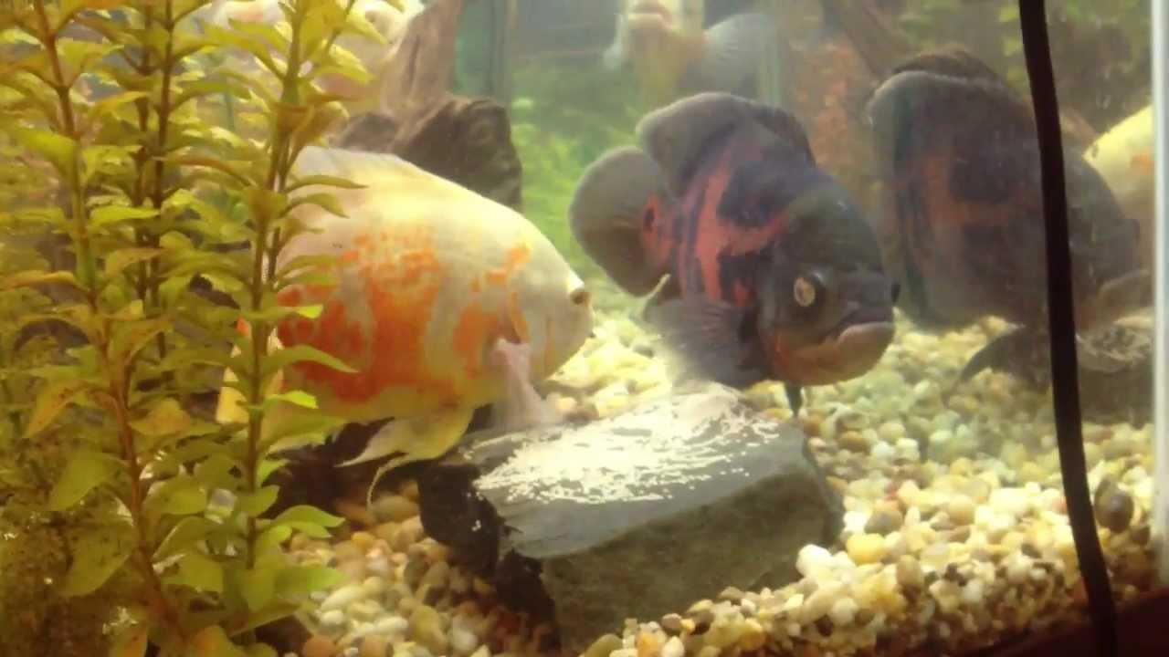 Oscar fish build a nest and eat rocks - YouTube