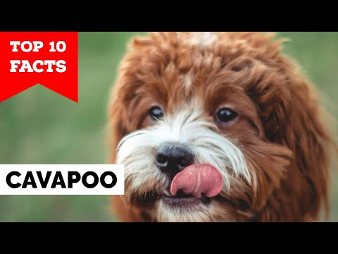 Cavapoo - Top 10 Facts