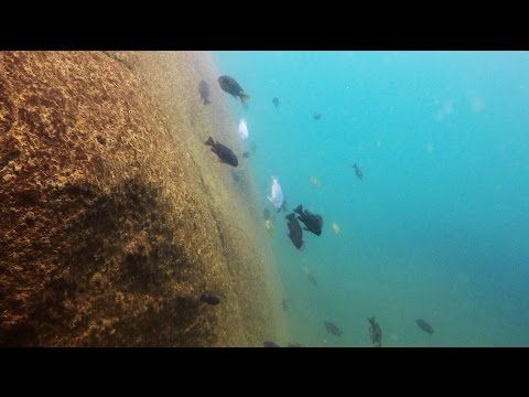 Kande Island Lake Malawi Cichlids - HD Underwater Footage