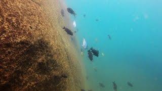 Kande Island Lake Malawi - African Cichlids - HD Underwater Footage thumbnail
