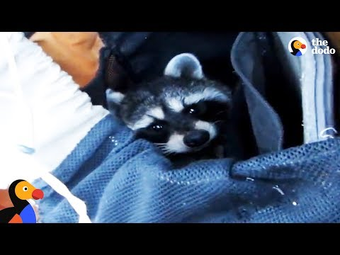 Raccoon Rescued From Deep Canyon Using a Backpack | The Dodo