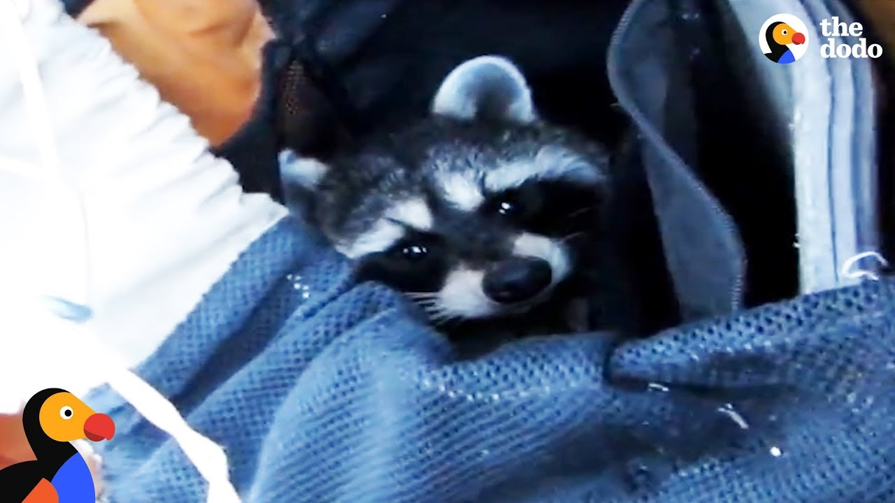 Raccoon Rescued From Deep Canyon Using a Backpack