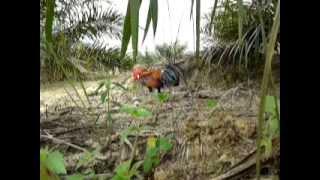 Pikat Ayam Hutan (A) - 1
