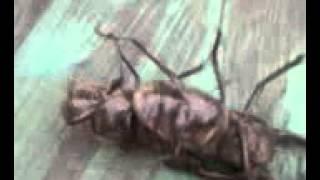 как 2 жук-олень бьются