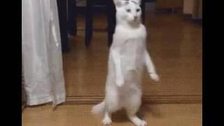 Хахаха!Кот ходит на задних лапах!!!🐈🐱🐈🐱
