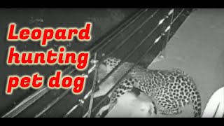 Caught on cam Leopard hunting pet dog in residential area in India