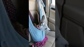 ルーニーはドライブが大好き! だっこ袋に入りキョロキョロしています。...