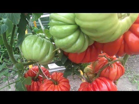 Обзор сортов томатов урожая 2019 года