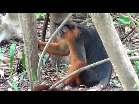 Western Red Colobus monkey - Procolobus Badius