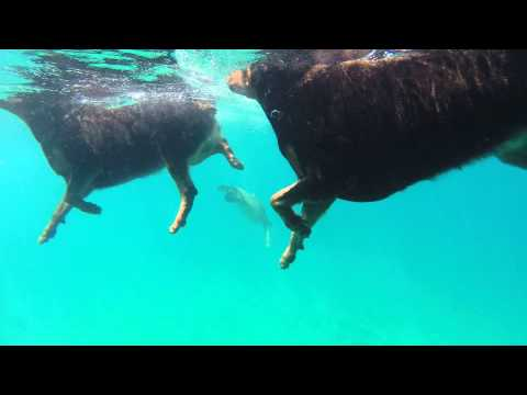 Rottweiler's swimming in ocean