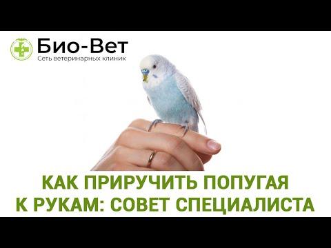 Как научить попугая садиться на руку