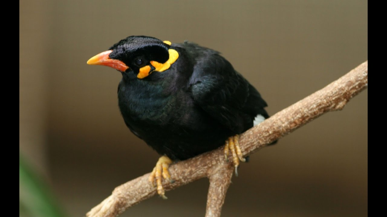 Talking Myna Bird in Bhojpuri - YouTube - photo#20