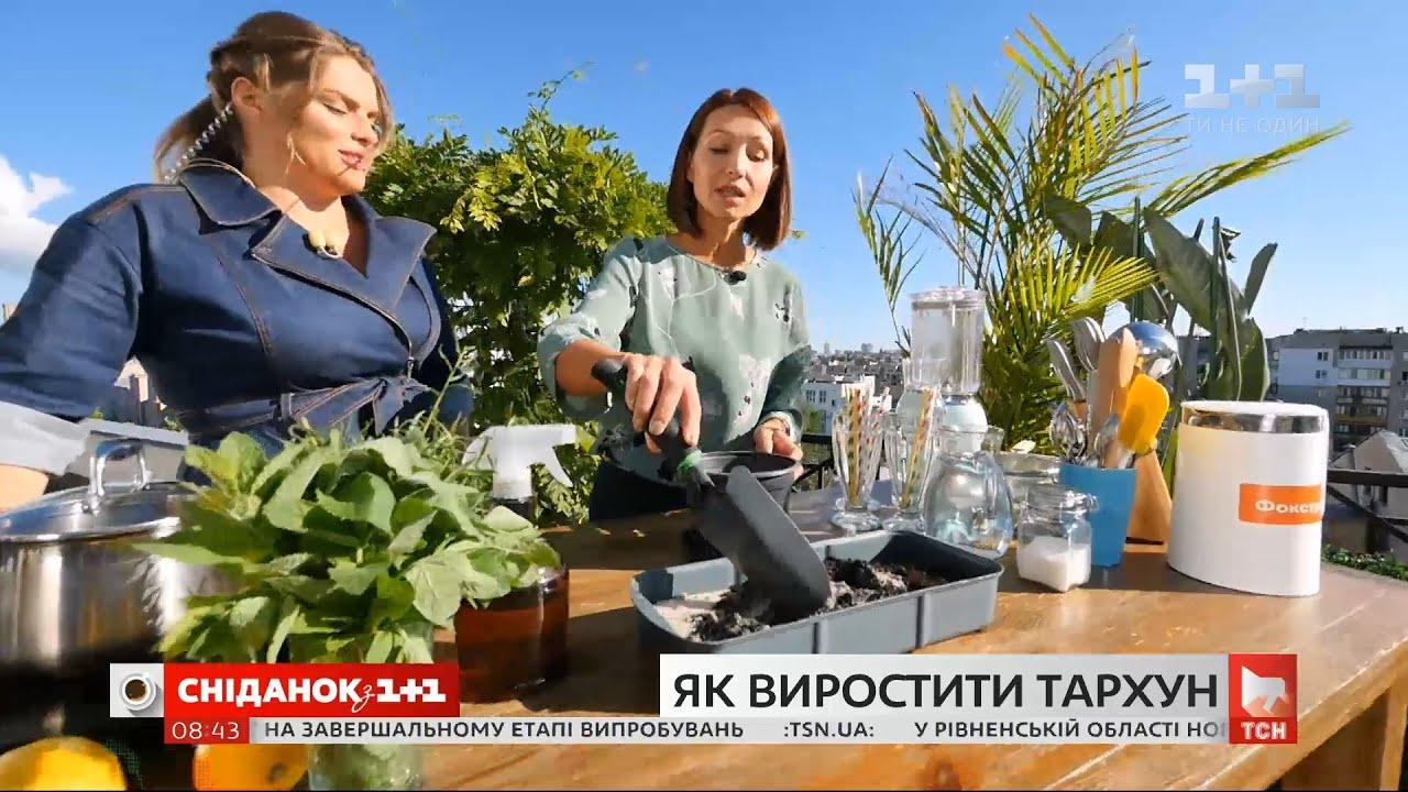 Тархун: правил вирощування та рецепт корисного лимонаду