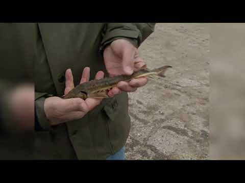 MN DNR Stocking Sturgeon And Assessing Muskie In Lake Detroit