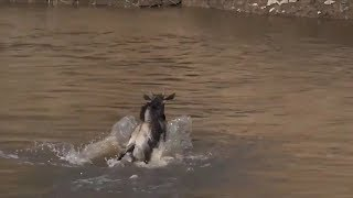 SafariLive July 18- Not the big wildebeest migration but the great escape!